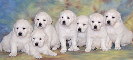 Golden Retriever Puppies White Golden Retriever Puppies British