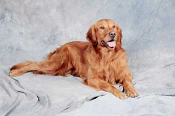Golden retriever breeders near martinsburg wv
